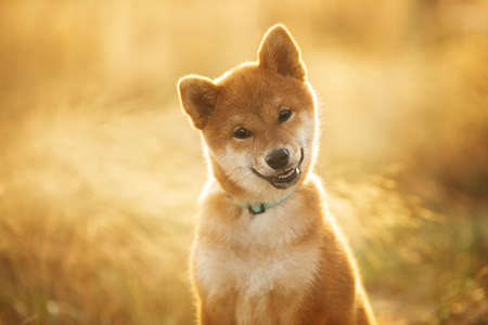 Close-up portrait of happy and beautiful Red Shiba Inu Puppy Dog Sitting Outdoors In the grass at golden Sunset. Young Japanese shiba inu dog sitting in the meadow in summer