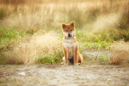 Portrait of cute and happy Red Shiba Inu Puppy Dog Sitting Outdoor In Grass During golden Sunset. Adorable Young Japanese shiba inu dog sitting in the meadow in summer Фото со стока
