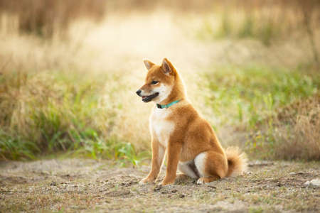 Profile Portrait of cute and happy Red Shiba Inu Puppy Dog Sitting Outdoor In Grass During golden Sunset. Adorable Young Japanese shiba inu dog sitting in the meadow in summer