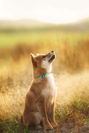 Portrait of cute and happy red shiba inu dog sitting outdoors at golden sunset. Adorable Young Japanese shiba inu dog sitting in the meadow in summer Фото со стока