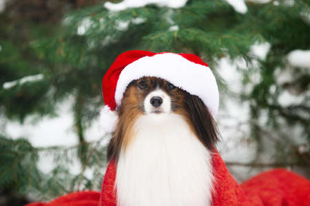 Close-up Portrait of the cute papillon dog in a Santa hat in the forest, Adorable toy continental dog is ready to Christmas.