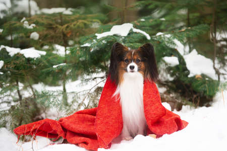 Close-up Portrait of the cute papillon dog in a red coat in the forest, Adorable toy continental dog is ready to Christmas.