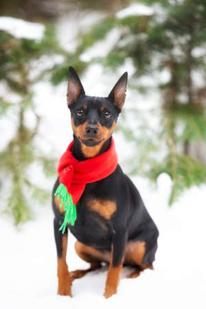 Portrait of Beautiful miniature pinscher in a christmas red and green scarf scarf sitting in the forest under the fir tree in winter. Zwergpinscher is ready to the New Year celebration Фото со стока