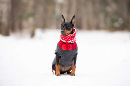Portrait of cute miniature pinscher in a christmas red scarf and gray sweater sitting in the forest in winter. Beautiful Zwergpinscher is ready to the New Year celebration