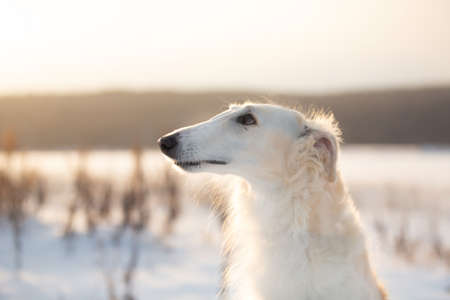 Profile Portrait of beautiful beige Russian borzoi dog in the snow field at sunset in winter Фото со стока