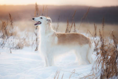 Portrait of adorable and beautiful russian borzoi dog or wolfhound standing on the snow in the field in winter at golden sunset