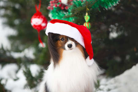 Close-up Portrait of the cute papillon dog in a Santa hat sitting under the fir-tree in the forest. Adorable toy continental dog is ready to Christmas. Фото со стока