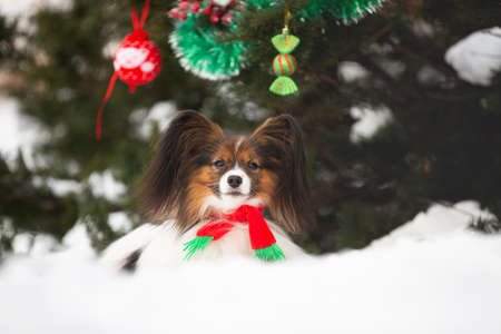Close-up Portrait of the cute papillon dog in a scarf lying under the fir-tree in the forest. Adorable toy continental dog is ready to Christmas. Фото со стока