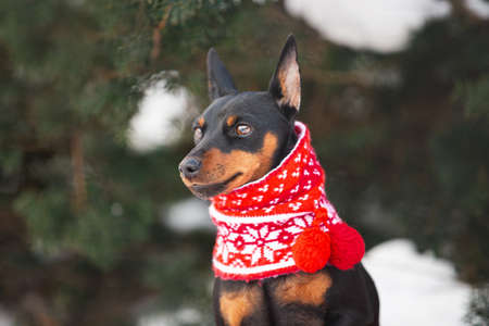 Profile Portrait of cute miniature pinscher in a christmas red scarf sitting in the forest in winter. Beautiful Zwergpinscher dpg is ready to the New Year celebration