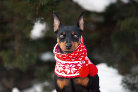 Close-up Portrait of cute miniature pinscher in a christmas red scarf sitting in the forest in winter. Beautiful Zwergpinscher dpg is ready to the New Year celebration Фото со стока