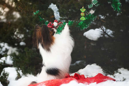 Close-up Portrait of the cute papillon dog is decorating christmas tree under in the forest. Adorable toy continental dog is ready to Christmas and the New Year. Small dog sitting on the hind legs