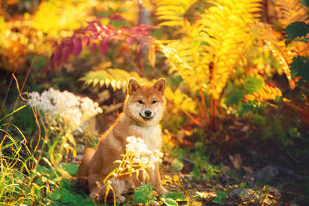 Portrait of beautiful and happy shiba inu puppy sitting in the fall forest at golden sunset. Cute Red shiba inu female puppy in autumn. Orange fern background