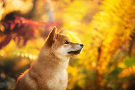 Close-up Portrait of beautiful and happy shiba inu puppy sitting in the fall forest at golden sunset. Profile of Cute Red shiba inu female puppy in autumn