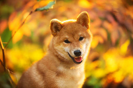 Close-up Portrait of beautiful and happy shiba inu puppy sitting in the fall forest at golden sunset. Cute Red shiba inu female puppy in autumn Фото со стока