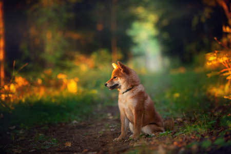 Profile Portrait of beautiful and happy shiba inu puppy sitting in the fall mysterious forest at golden sunset. Profile of Cute Red shiba inu female puppy in autumn Фото со стока