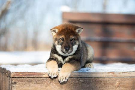Close-up Portrait of an Shikoku puppy lying on the bench in winter. Shikoku ken puppy. Kochi-ken dog.