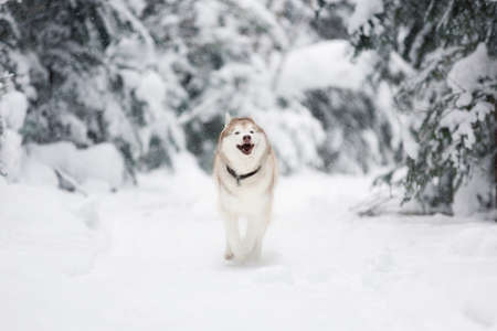Portrait of crazy and happy siberian husky dog running in the snowy winter forest.