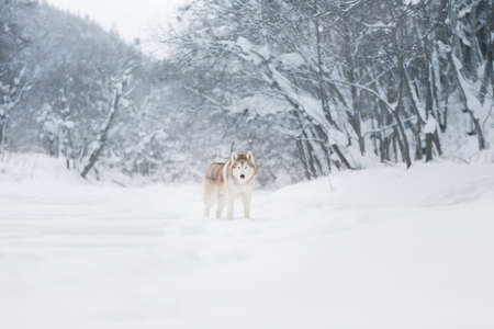 Portrait of Beautiful, gorgeous and free dog breed siberian husky standing on the snow in the fairy and enchanted winter forest