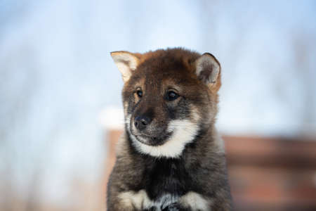 Close-up Portrait of an Shikoku puppy in winter. Shikoku ken puppy. Profile of Kochi-ken dog. Headshot 写真素材