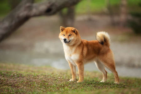 Portrait of beautiful Shiba inu dog standing on the river bank in the forest in summer. Gorgeous red japanese shiba inu dog Фото со стока