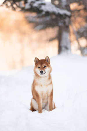 Portrait of cute and beautiful shiba inu female puppy sitting in the forest in winter at sunset. Adorable young Japanese shiba inu female dog in the snow 写真素材