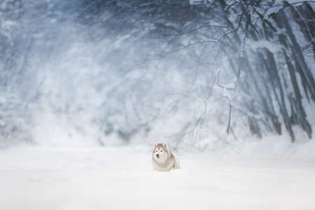 Portrait of Beautiful, happy and free dog breed siberian husky lying on the snow in the fairy and enchanted winter forest