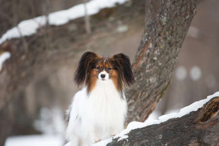Portrait of cute Papillon dog sitting on the tree in the forest in winter. Beautiful and happy Continental toy spaniel outdoors
