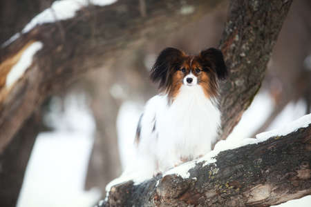 Close-up Portrait of cute Papillon dog standing on the tree in the forest in winter. Beautiful and happy Continental toy spaniel outdoors