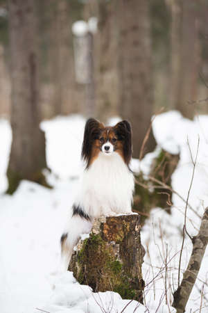 Portrait of cute Papillon dog standing on the tree stump in the forest in winter. Beautiful and happy Continental toy spaniel outdoors