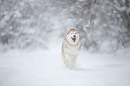 Portrait of crazy and happy siberian husky dog running in the enchanted snowy forest in winter. 写真素材