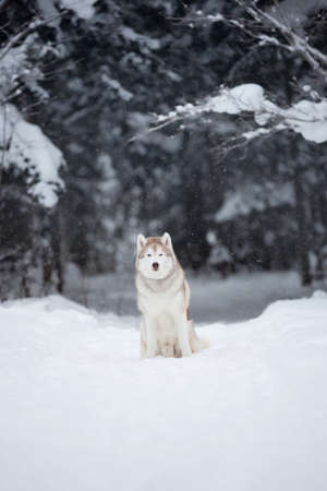Close-up portrait of Beautiful, happy and free dog breed siberian husky sitting on the snow in the fairy winter forest
