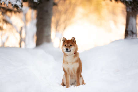 Profile Portrait of cute and beautiful shiba inu female puppy sitting in the forest in winter at sunset. Adorable young Japanese shiba inu female dog in the snow