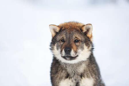 Profile Portrait of an Shikoku puppy in winter. Shikoku ken puppy. Kochi-ken dog. Headshot