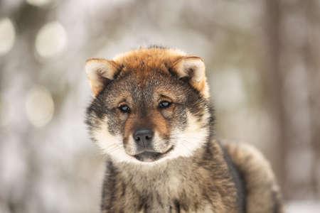 Close-up Portrait of an Shikoku puppy in winter forest at sunset. Shikoku ken puppy. Kochi-ken dog. Headshot 写真素材