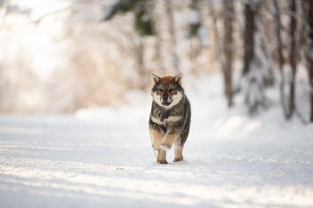Profile Portrait of happy and beautiful Shikoku male puppy running in the forest at sunset. Shikoku ken puppy in winter. Kochi-ken dog. Headshot