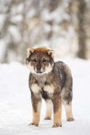Profile Portrait of an Shikoku puppy standing in winter forest at sunset. Shikoku ken puppy. Kochi-ken dog. Headshot 写真素材