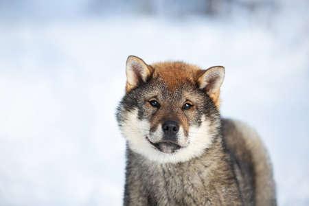 Close-up Portrait of an Shikoku puppy in winter. Shikoku ken puppy. Kochi-ken dog. Headshot 写真素材