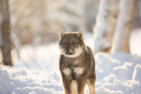 Profile Portrait of cute Shikoku female puppy standing in winter forest at sunset. Shikoku ken puppy. Kochi-ken dog. Headshot