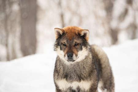 Profile Portrait of cute Shikoku male puppy standing in winter forest at sunset. Shikoku ken puppy. Kochi-ken dog.