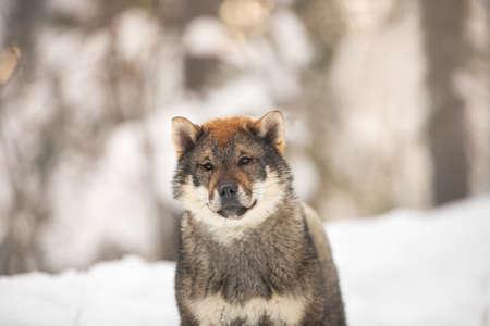 Close-up Portrait of cute Shikoku female puppy standing in winter forest at sunset. Shikoku ken puppy. Kochi-ken dog. 写真素材