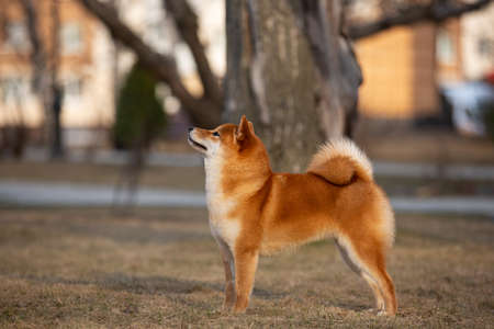 Portrait of Beautiful Young Red Shiba Inu Dog Standing Outdoors at golden Sunset.