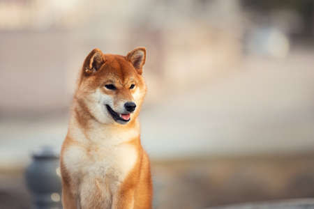 Profile portrait Of Beautiful Young Red Shiba Inu female Dog posing outside. Cute japanese shiba puppy outdoors in summer.