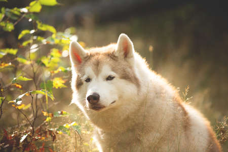 Close-up Portrait of beautiful Beige Siberian Husky in fall season on a forest background. Image of husky dog sitting in the withered grass in autumn