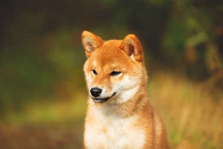 Profile Portrait of beautiful and happy shiba inu puppy sitting in the fall forest. Cute Red shiba inu female puppy in autumn