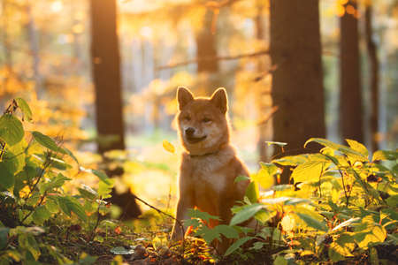 Portrait of beautiful and happy shiba inu puppy sitting in the fall mysterious forest at golden sunset. Cute Red shiba inu female puppy in autumn