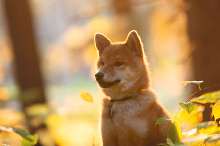 Profile Portrait of beautiful and happy shiba inu puppy sitting in the fall mysterious forest at golden sunset. Close-up of Cute Red shiba inu female puppy in autumn