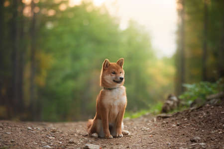 Portrait of beautiful and happy shiba inu puppy sitting in the fall mysterious forest at golden sunset. Profile of Cute Red shiba inu female puppy in autumn