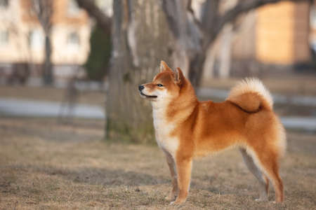 Portrait of Beautiful and funny Young Red Shiba Inu Dog Standing Outdoors at golden Sunset.