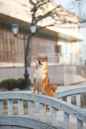 Portrait of beautiful and prideful red shiba inu dog standing on its hind legs on the bridge in the city at sunset in spring