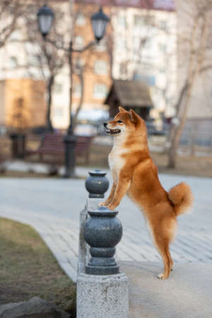 Profile Portrait of beautiful red shiba inu dog standing on its hind legs on the bridge in the city at sunset in spring.